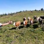 Mit Kühen sprechen ....
